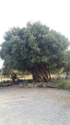 Censimento Alberi Monumentali | Villapiana (CS)